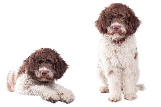 Een truffel hond - Lagotto Romagnolo